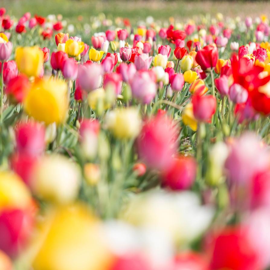 Sea of flowers II by paschlewwer