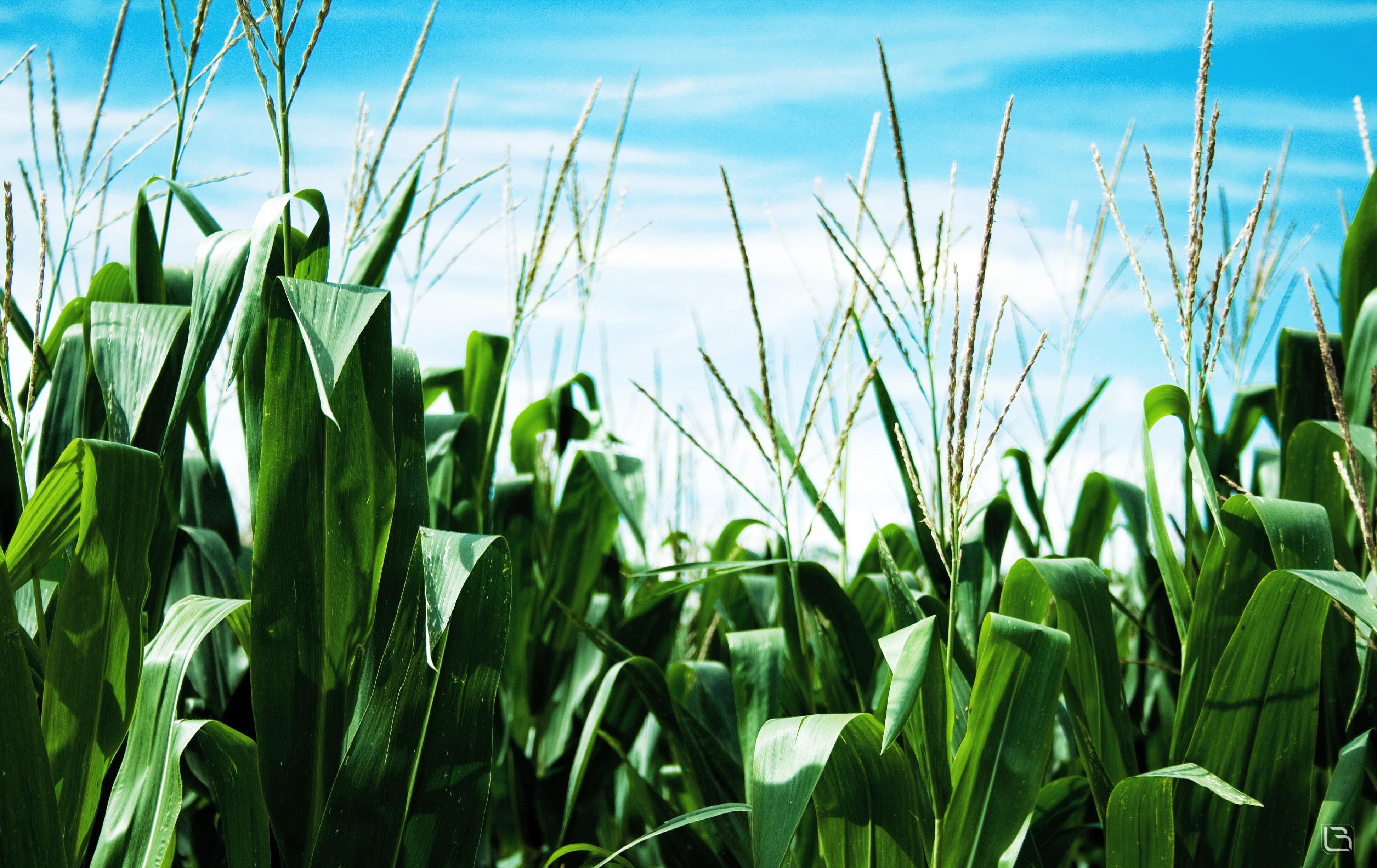 corn field wallpaper by cavalars on DeviantArt