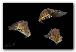 Cuttlefish Group by MelissaGT