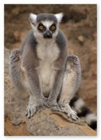 Lemur King by MelissaGT