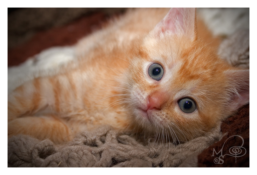 Little Red Tabby by Dracofish