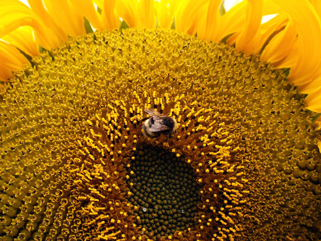 Bee on Sunflower by Rebelsheepgomooo
