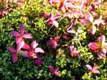 Reddish Plants