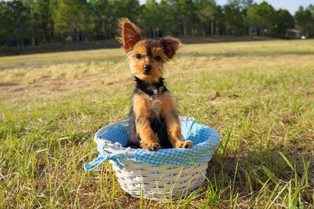 Teacup Yorkie Poo Puppies In Florida By Floridapups On Deviantart