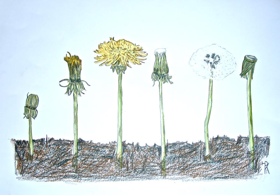 Circle of a dandelions life by macdieter