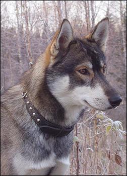 Siberian husky by riipi