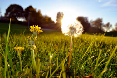 Dandelion In The Spring (Even though it's fall) by MissMuggle