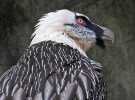 Bearded Vulture by Eruntir