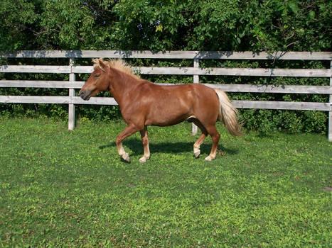Pony Trot