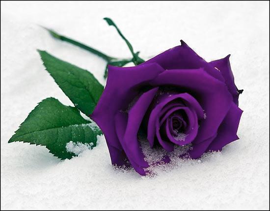 purple rose hd wallpaper  wallpapers    purple roses, Beautiful flower