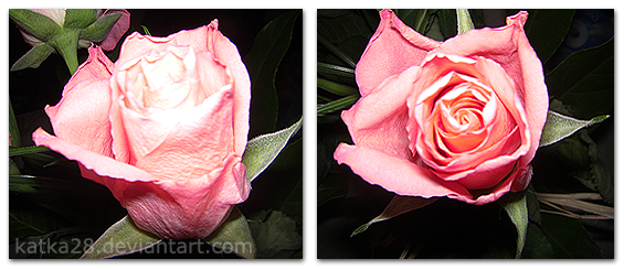 simply pink rosess by katka28