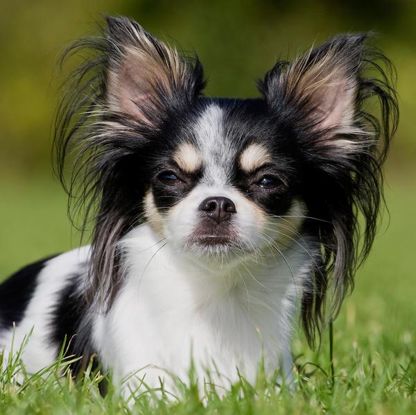 Chihuahua by Renesj