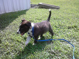 Abbie our new puppy