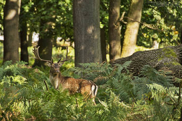 Fallow Deer in Richmond Park by fucute