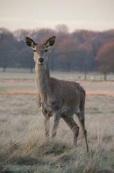 Deer in Richmond Park by fucute