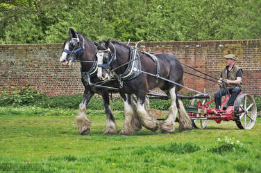 Shire Horses by fucute