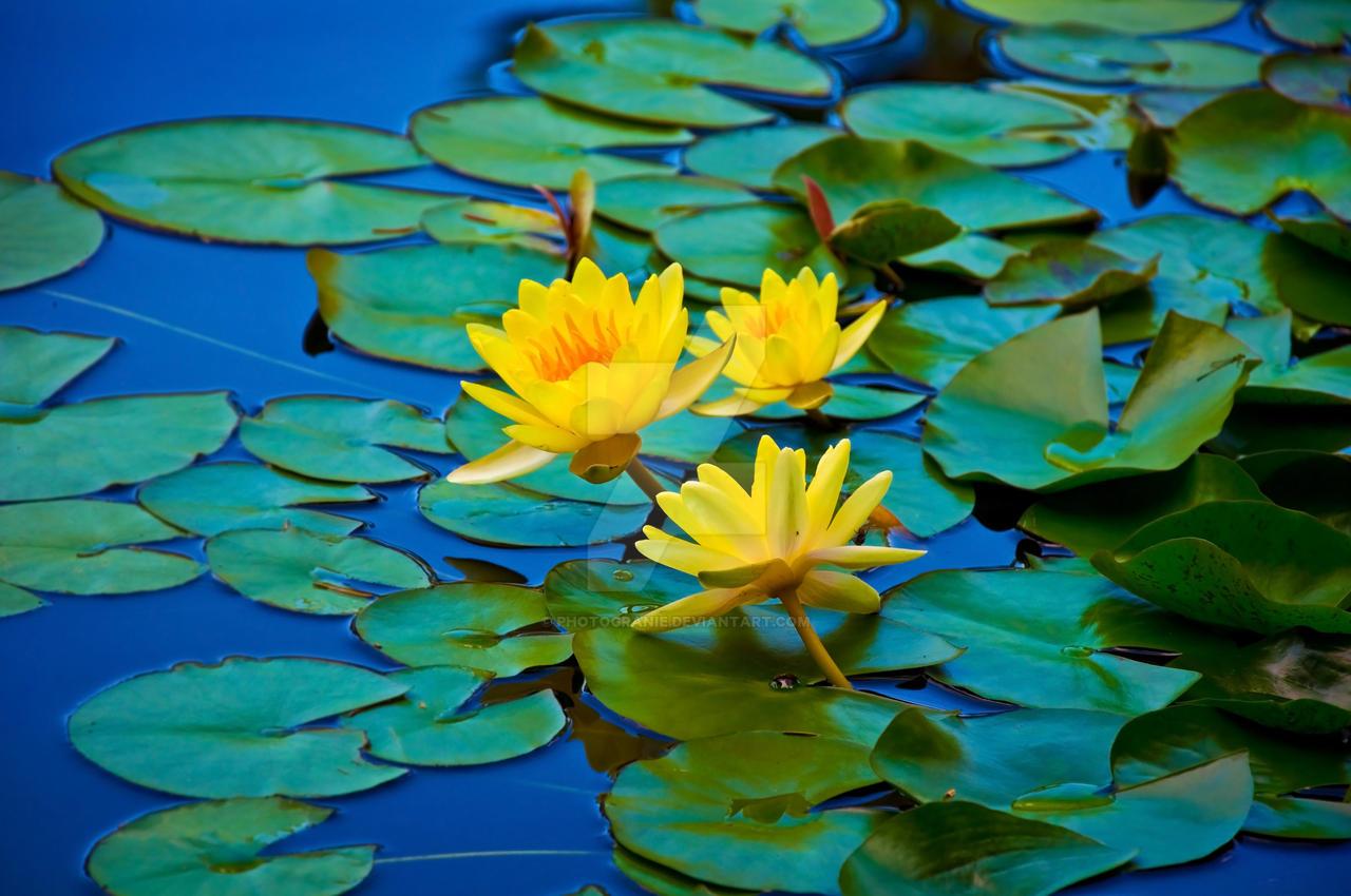 Lily Pad Flower 2 by graNie on DeviantArt