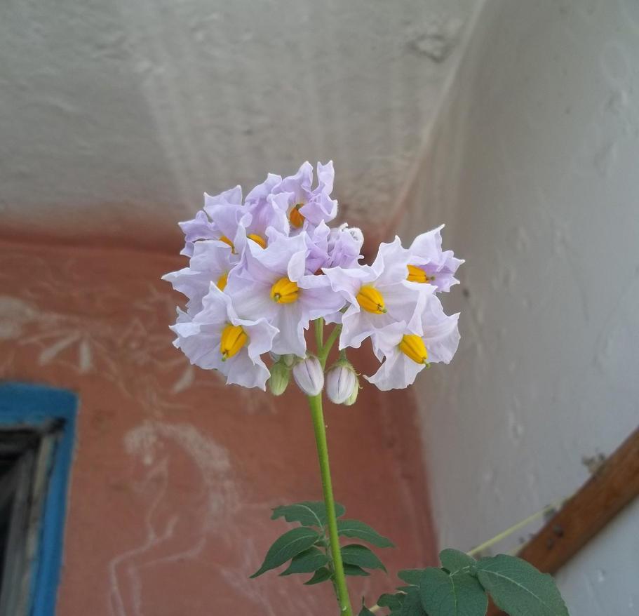 Star flowers by TiElGar
