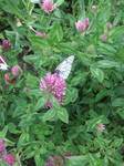 Clover and Butterfly