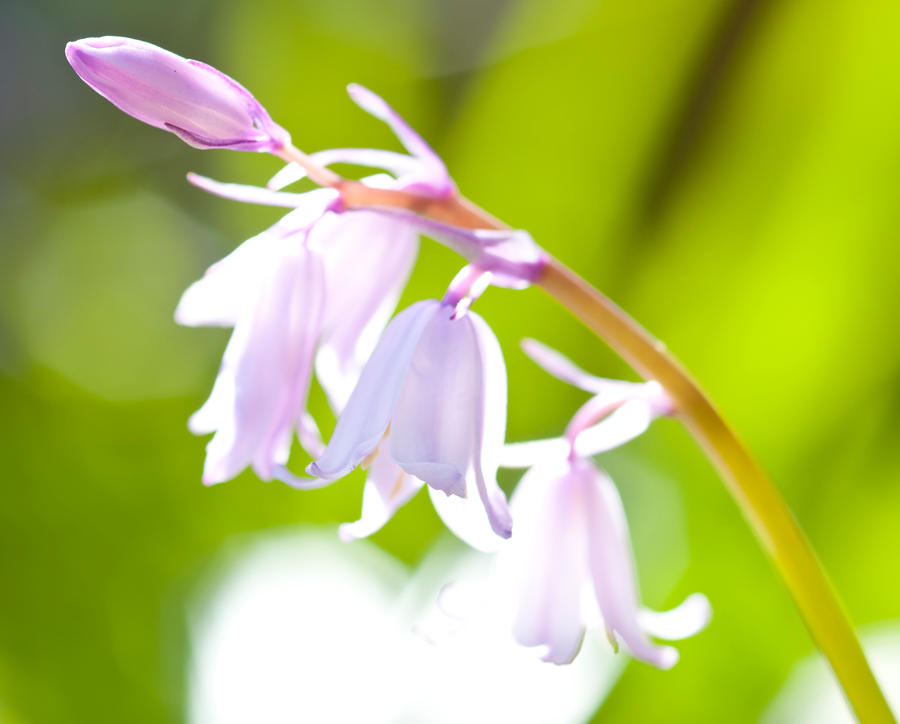 Natures bells by pqphotography