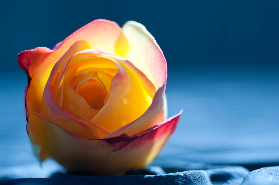 Early morning rose