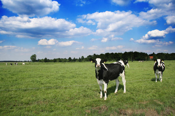 Cows Stock 01 by JaneDoeStock