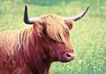 Highland Cattle2
