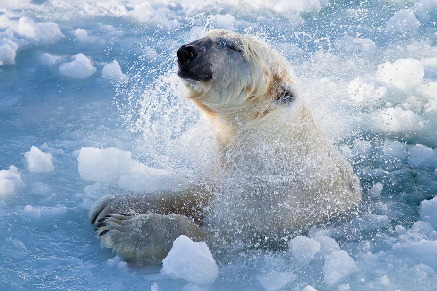 Polar bear3 by markotapio