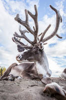 reindeer2 by markotapio