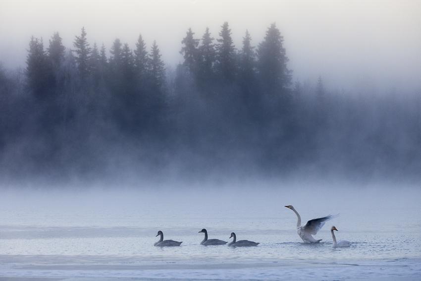 swan2 by markotapio