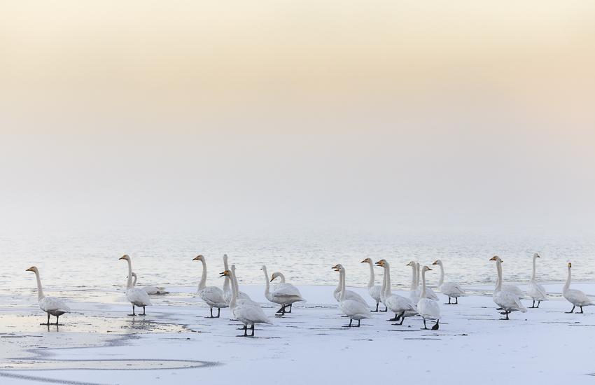 swan4 by markotapio