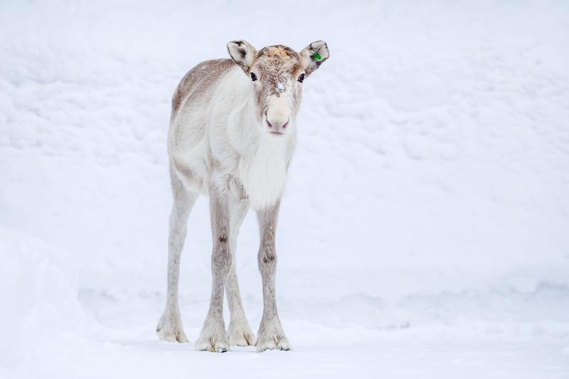 reindeer8 by markotapio
