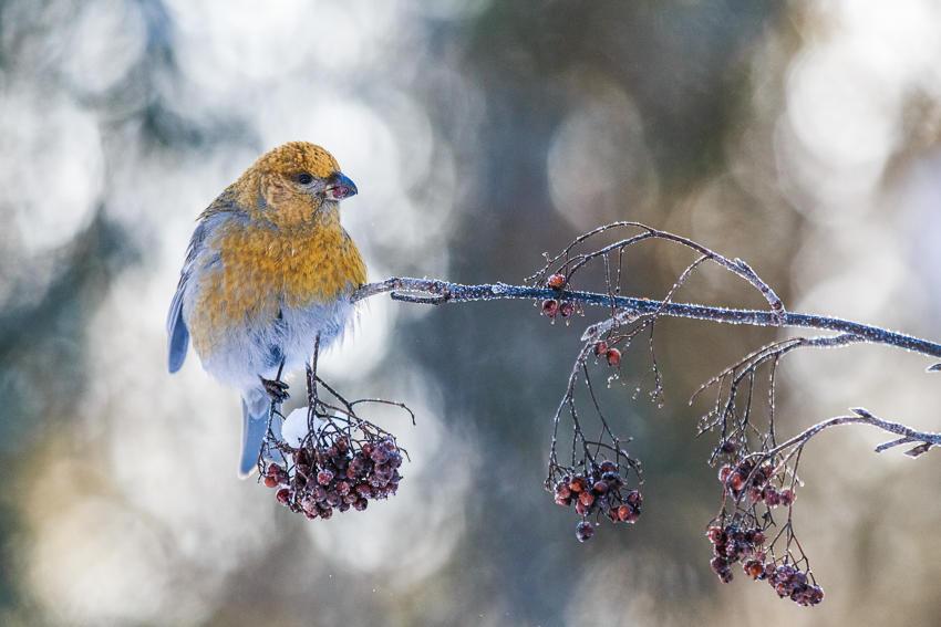bird25 by markotapio