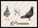Pigeon Png pack