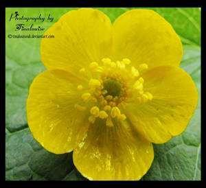 Buttercup by TinaLouiseUk