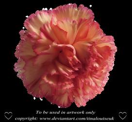 Pink carnation head by TinaLouiseUk