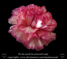 Pink Carnation head 2 by TinaLouiseUk