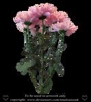 Pink daisies by TinaLouiseUk