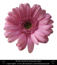 Pink daisy head by TinaLouiseUk