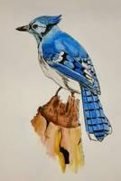 Blue Jay by DParkerEdwards
