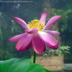 Lotos Blossom