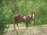 Pinto Quarter Horse