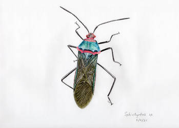 A bug Sphictyrtus sp.