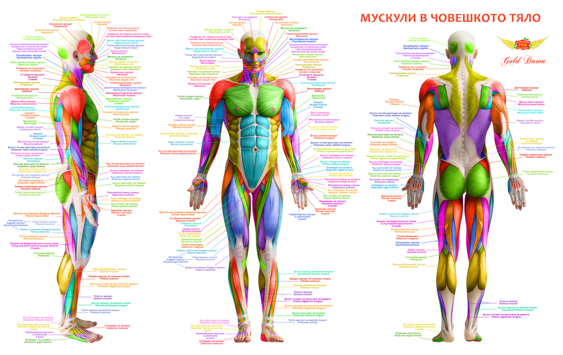 Body Muscles Anatomy Free By Golddawn On Deviantart