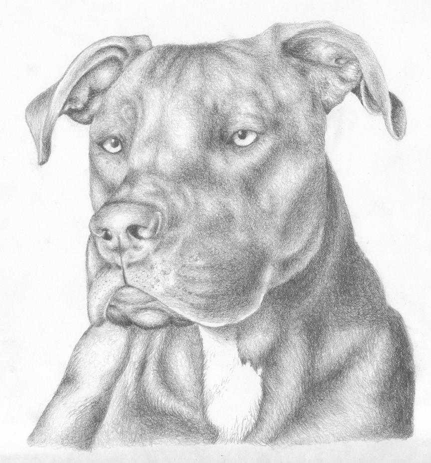Uncategorized Drawing Pitbull atilla the pit bull by jabber wocky on deviantart wocky