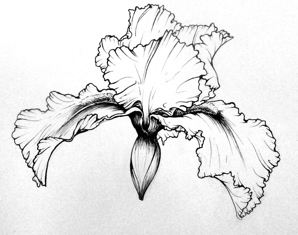 Line Drawing Iris Flower : Bearded iris drawings