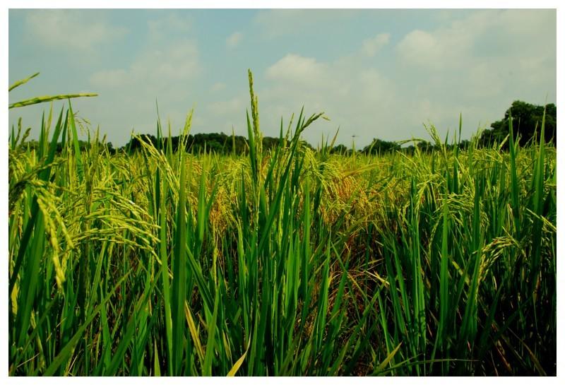 Gambar original sawah padi by HidayahCaldina