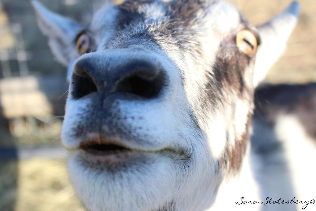 goat 14.9 by StotesMcGoats