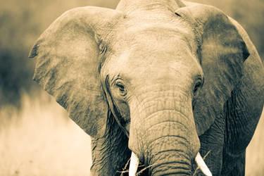 Maasai Elephant by JustinBowen