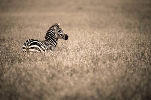 Lonely Zebra by JustinBowen